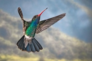 Broad-Billed_Hummingbird_002